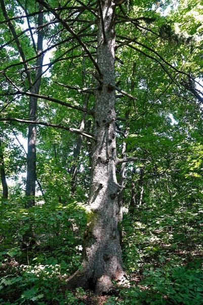 Ель обыкновенная (Picea abies)