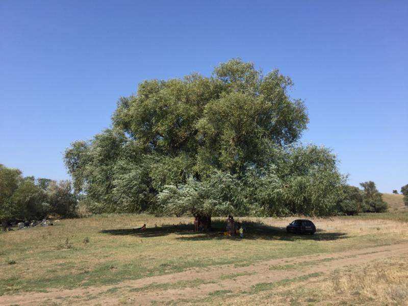 Ива белая (серебристая) (Salix alba)