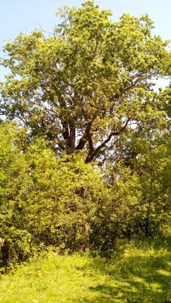 Тополь чёрный (Populus nigra L.)