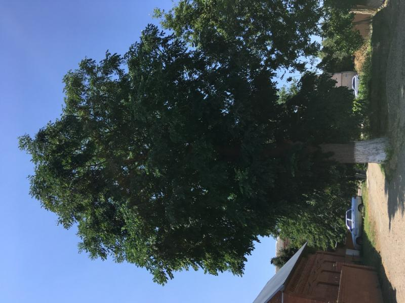 Бундук (кофейное дерево) (Gymnocladus dioicus)