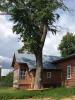 Тополь обыкновенный (Populus sp.)