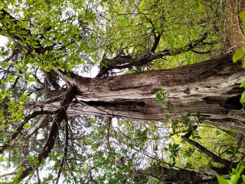 Можжевельник высокий (Juniperus excelsa)