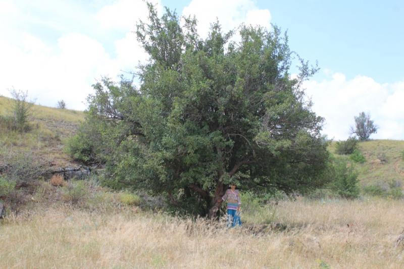 Боярышник обыкновенный (crataegus laevigata)