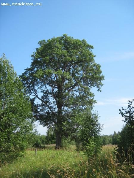 Вяз гладкий (Ulmus laevis Pall.)