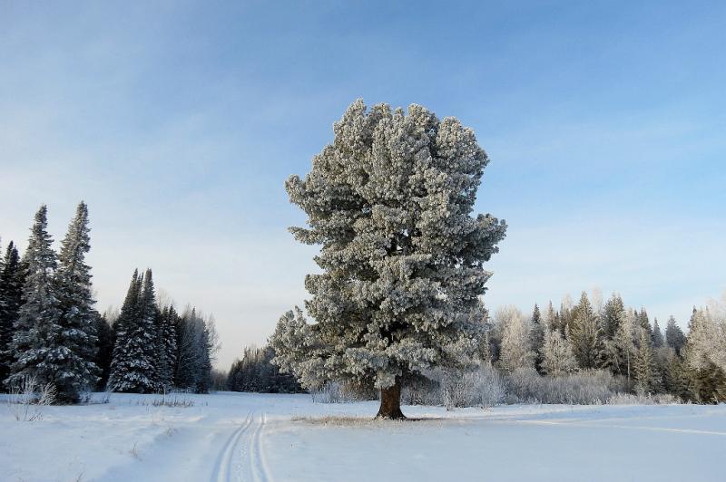 Сибирский кедр (Pinus sibirica)