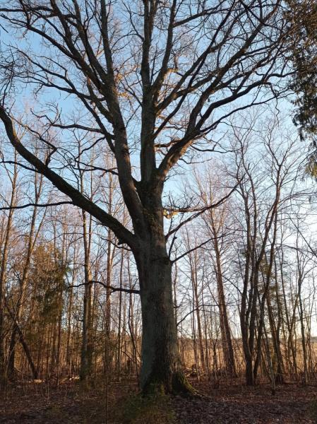 Дуб черешчатый (Quercus robur L.)