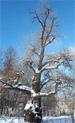 Тополь белый (серебристый) (Populus alba)