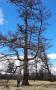 Лиственница сибирская (Larix sibirica Ledeb.)