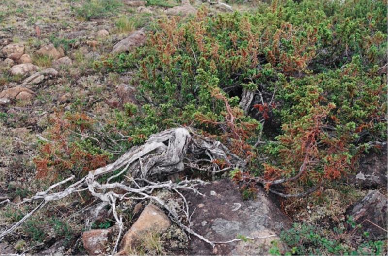 Можжевельник сибирский (Juniperus sibirica Burgsd)