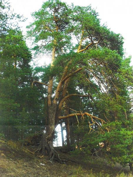 Сосна обыкновенная  (Pinus sylvestris L. )