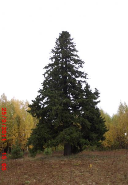 Ель (Picea sp.)