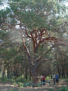 Сосна кулундинская (Pinus sylvestris subsp. kulundensis Sukaczew ex Pravdin)