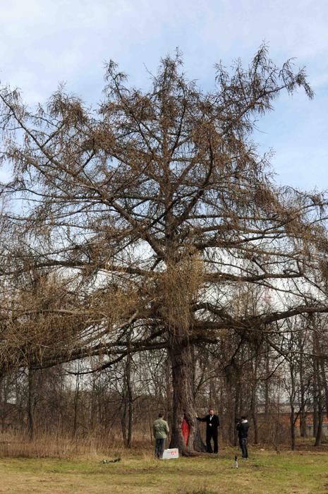 Лиственница европейская (Larix decidua Mill.)
