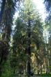 Ель обыкновенная (Picea abies H.Karst.)