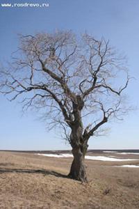 Вяз гладкий (Ulmus laevis L.)