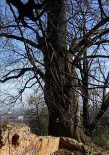 Ясень (Fraxinus sp.)