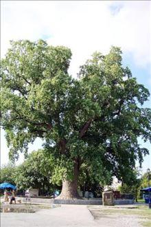 Лириодендрон тюльпаноносный или Тюльпанное дерево (Liriodendron tulipifera L.)