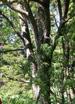 Рябина сибирская (Sorbus sibirica Hedl.)