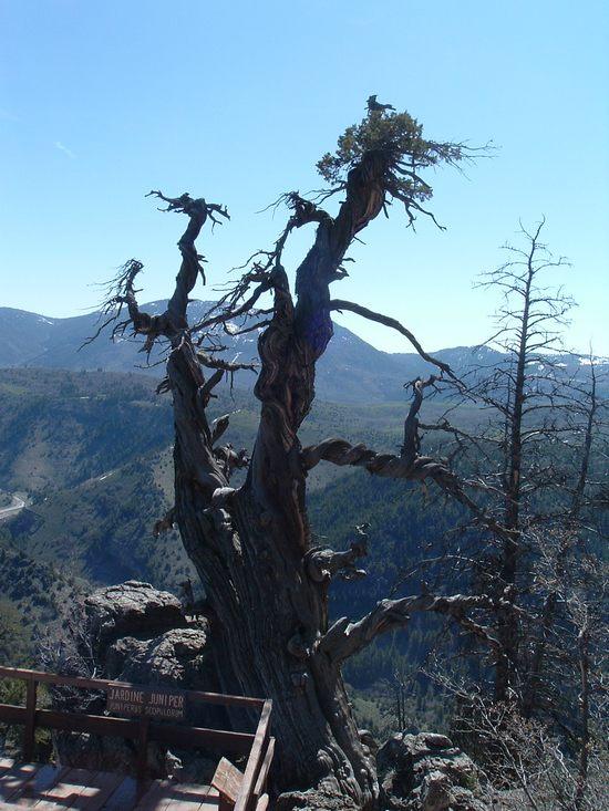 Можжевеловое дерево в штате Юта