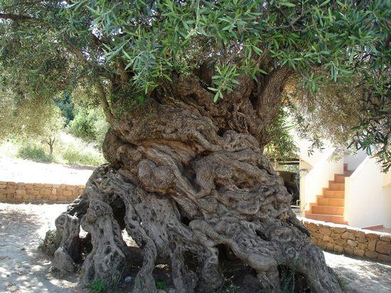 Оливковое дерево на Крите